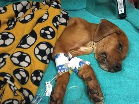 Justice for Caleb the 3 month old Puppy that was Sodomized, Burned with Cigarettes, Bones Fractured and Starved