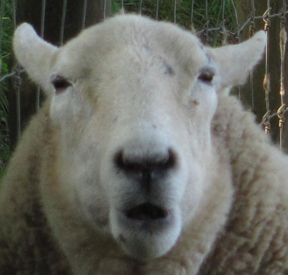Sheep Singular singular of the word sheep