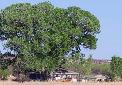 Save the San Pedro House Cottonwood!