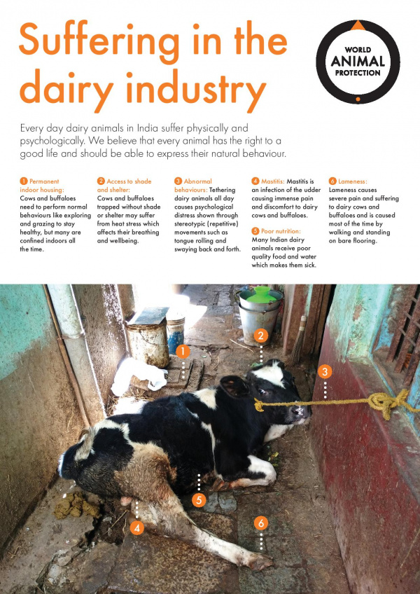 Ask for better life for dairy animals in India