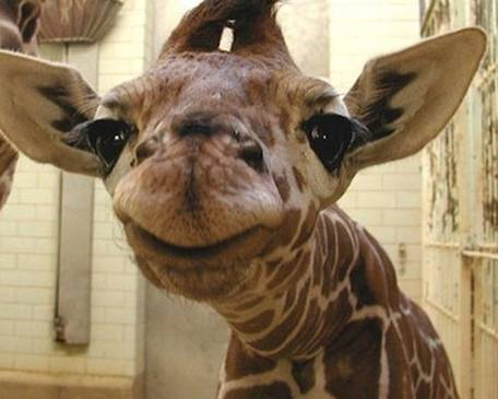 Petition GIVE US OUR GIRAFFE EMOJI!