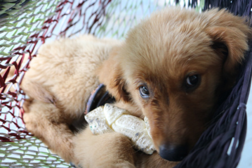 Petition To Name Our Golden Retriever Puppy Butthole
